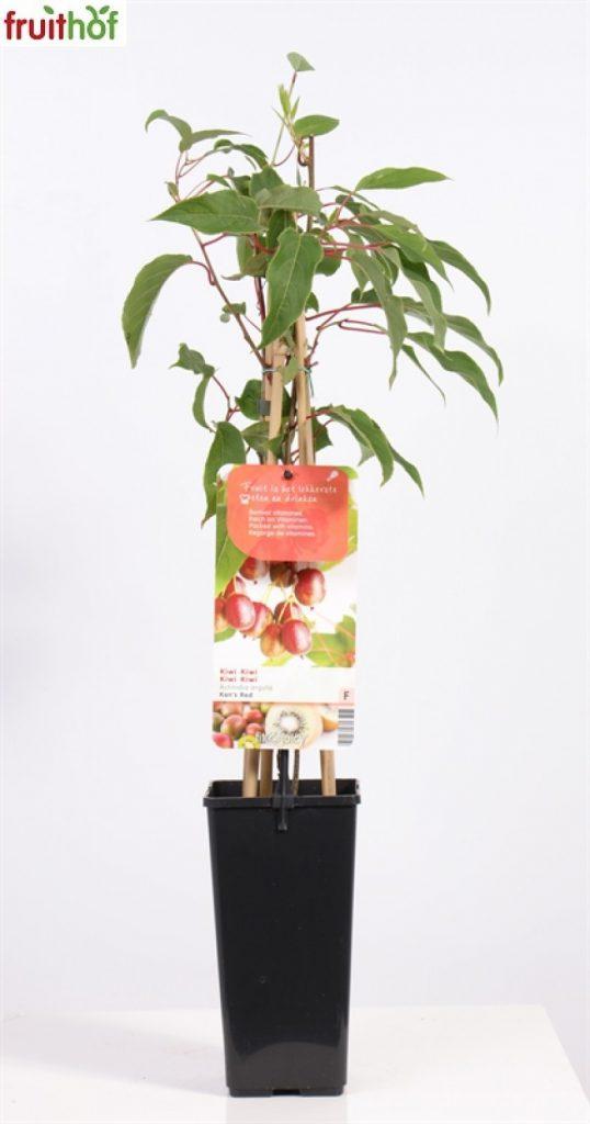 kiwi planten